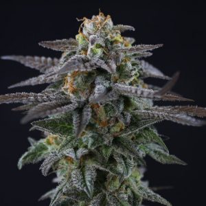 "Its Mendo Dope ""Pheno Hunter 100 Pack"""