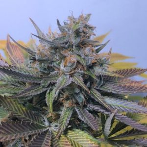 Mz Jill Genetics –  Jilly Bean F2 10 Pack