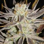 Mz Jill Genetics – Queen Anne's Revenge 5 Pack